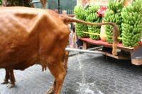 vaca-meando
