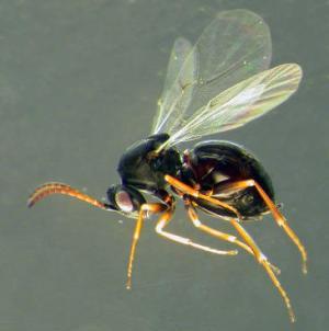 Descubren-dos-nuevas-especies-de-avispas-de-las-agallas-en-la-peninsula-iberica_image365_