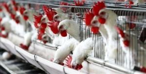 gripe_aviar