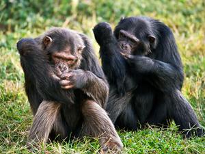 chimpance-perder