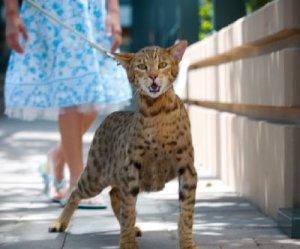 gato_domestico_ashera